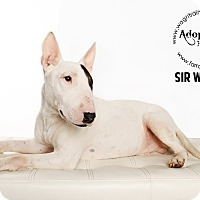 Adopt A Pet :: Sir William - Omaha, NE