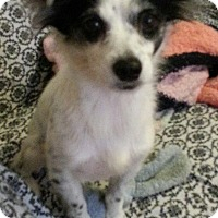 Adopt A Pet :: Endearing Elena - Madison, NJ