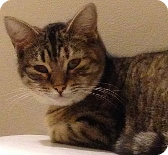 Domestic Shorthair Cat for adoption in Jacksonville, North Carolina - Delaney