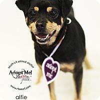 Adopt A Pet :: Alfie - Encino, CA