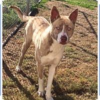 Adopt A Pet :: Socks - Brattleboro, VT