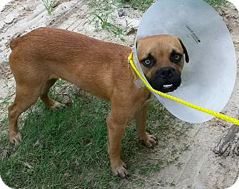 Pug/Boxer Mix Dog for adoption in Leming, Texas - Otis