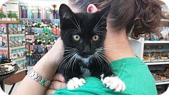 Domestic Shorthair Kitten for adoption in Columbus, Ohio - Avalon