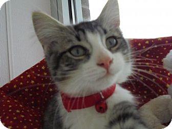 Domestic Mediumhair Kitten for adoption in Livonia, Michigan - C4 Litter-Cicily