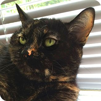 Domestic Shorthair Cat for adoption in Toronto, Ontario - Clementine *declawed*