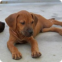 Pit Bull Terrier Mix Dog for adoption in Chester, South Carolina - NOAH C-16-1128