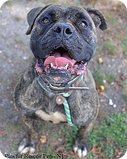 Bullmastiff/Boxer Mix Dog for adoption in Spring Lake, New Jersey - Rumson