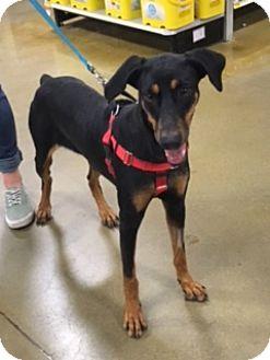 Doberman Pinscher Dog for adoption in Omaha, Nebraska - Bliss