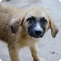 Shepherd (Unknown Type) Mix Puppy for adoption in Enfield, Connecticut - Duncan