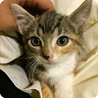 Domestic Shorthair Kitten for adoption in Philadelphia, Pennsylvania - Dhyana