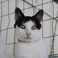 Domestic Shorthair Cat for adoption in New Bern, North Carolina - Briley/Phyllis
