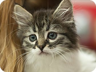 Domestic Mediumhair Kitten for adoption in Great Falls, Montana - Zero