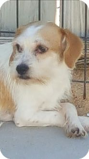 Terrier (Unknown Type, Small) Mix Dog for adoption in Mary Esther, Florida - Pablo