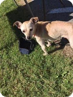 Chihuahua Mix Dog for adoption in Branson, Missouri - Tuffy