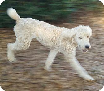 Poodle (Standard) Puppy for adoption in Alpharetta, Georgia - Cooper