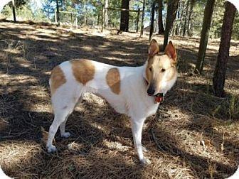 Collie Dog for adoption in Pueblo West, Colorado - Nina