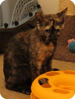 Domestic Shorthair Cat for adoption in Harrisburg, Pennsylvania - Lisa - Kitten