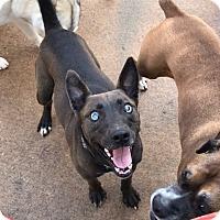 Adopt A Pet :: Sarge - Roswell, GA