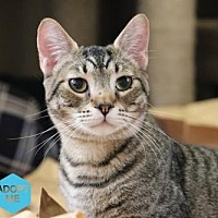 Adopt A Pet :: Alfred - Bakersfield, CA