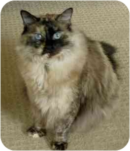 Ragdoll Cat for adoption in Keizer, Oregon - Daphne