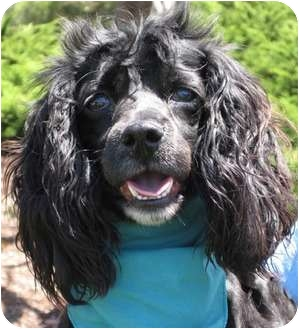 Cocker Spaniel Mix Dog for adoption in Encinitas, California - Hilda