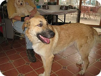 Anatolian Shepherd Mix Dog for adoption in Greeneville, Tennessee - Aslyn