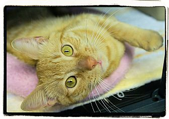 Domestic Shorthair Cat for adoption in Elmwood Park, New Jersey - Sebastian