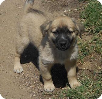 Golden Retriever/German Shepherd Dog Mix Puppy for adoption in Torrance, California - BELLA