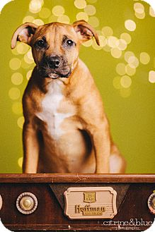 Boxer Mix Puppy for adoption in Portland, Oregon - Crouton