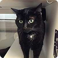 Domestic Shorthair Cat for adoption in Canal Winchester, Ohio - Bert