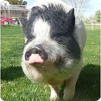 Adopt A Pet :: Miss Piggy - Las Vegas, NV