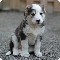 Adopt A Pet :: Annabelle - Hamilton, ON