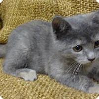 Adopt A Pet :: SilverBelle - Dallas, TX