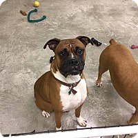 Adopt A Pet :: Blaze - Westminster, MD