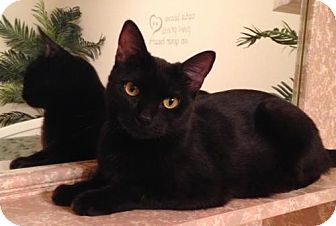 Bombay Cat for adoption in Alvin, Texas - Holly