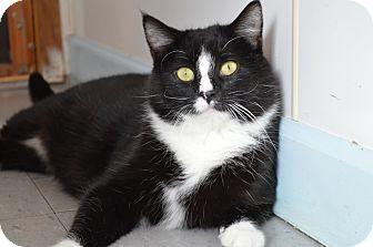 Domestic Shorthair Cat for adoption in House Springs, Missouri - Bond