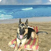 Adopt A Pet :: Heidi is just a year old! - Redondo Beach, CA
