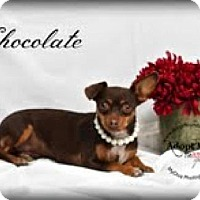 Adopt A Pet :: Chocolate - Canyon Country, CA