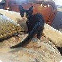 Adopt A Pet :: CHEER BEAR - Hampton, VA