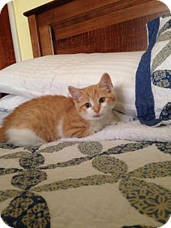 American Shorthair Kitten for adoption in Jenkintown, Pennsylvania - Soleil - Our Little Sunshine