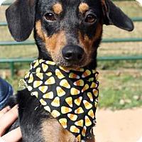 Adopt A Pet :: Hannibal - Norman, OK
