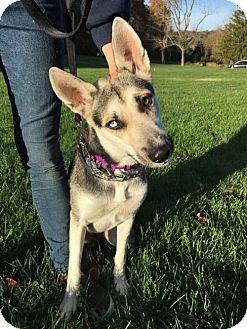 German Shepherd Dog/Husky Mix Puppy for adoption in Mt. Airy, Maryland - Valeska