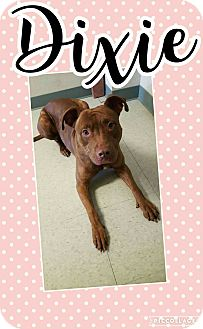 Pit Bull Terrier Mix Dog for adoption in Bryan, Ohio - Dixie #2