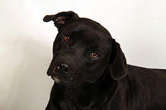 Labrador Retriever Mix Dog for adoption in St. Louis, Missouri - Carter Lab