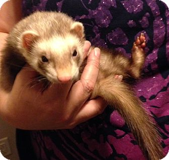 Ferret for adoption in Navarre, Florida - Timone