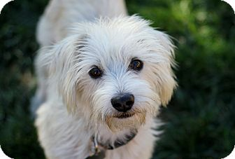 Westie, West Highland White Terrier/Schnauzer (Miniature) Mix Dog for adoption in Yorba Linda, California - Sidney - Watch my video!