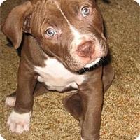 Adopt A Pet :: PIT BULL PUPPIES! - St Petersburg, FL