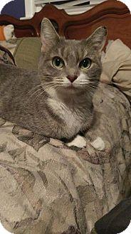 Domestic Shorthair Cat for adoption in Hampton, Virginia - SAMANTHA