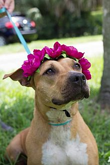Labrador Retriever/Staffordshire Bull Terrier Mix Dog for adoption in Davie, Florida - Lidia