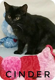 Domestic Shorthair Cat for adoption in Kendallville, Indiana - Cinder